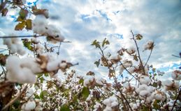 Cotton field plantation texture background. Crop royalty free stock image
