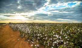 Cotton field plantation texture background. Crop stock images