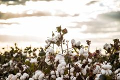 Cotton field plantation texture background. Crop stock image