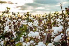 Cotton field plantation texture background. Crop stock photo