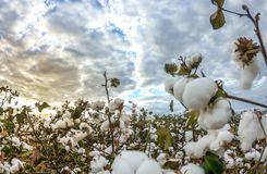 Cotton field plantation texture background. Crop royalty free stock photo