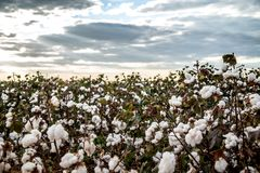 Cotton field plantation texture background. Crop royalty free stock images