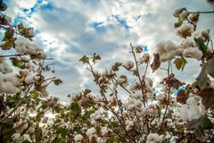 Cotton field plantation texture background. Crop royalty free stock photography