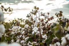 Cotton field plantation texture background. Crop royalty free stock photos