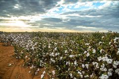 Cotton field plantation texture background. Crop stock photography