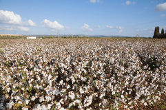 Cotton Field. Cotton plants in cotton field just before picking Stock Photos