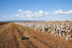 Cotton Field. Cotton plants in cotton field just before picking Stock Photography
