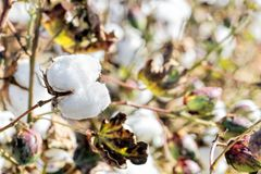 Cotton field. Cotton plants in the field on a sunny day close-up Royalty Free Stock Photos