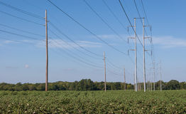 Cotton field and power lines Royalty Free Stock Images