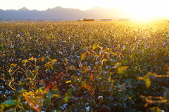 Cotton-Field Ready for Harvest at Sunrise! (Large File) Stock Photography