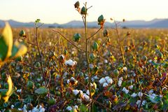 Cotton-Field Ready for Harvest at Sunrise! (Large File) Stock Photos