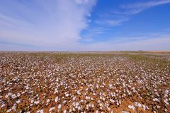 Cotton field ready for harvesting in Campo Verde, Mato Grosso, Brazil royalty free stock images