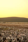 Cotton field at sunset Royalty Free Stock Photos
