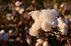 Cotton field at sunset Stock Image