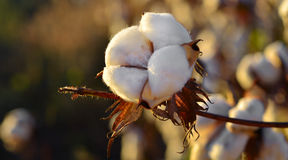 Cotton field at sunset Royalty Free Stock Images