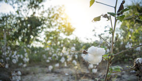 Cotton field. In Thailand.sunset Royalty Free Stock Image