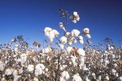 Cotton field in Tucson, AZ Stock Photo