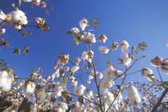 Cotton field in Tucson, AZ Stock Images