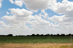 Cotton field under blue sky in Texas. Green cotton field, yellow grass, white cloud and blue sky constitute a beautiful landscape Stock Photo