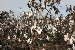 Cotton field in USA Royalty Free Stock Photo