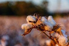 Cotton field. View of cotton field at sunset stock photo