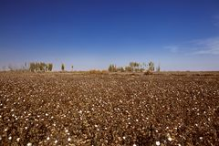 Cotton field in xinjiang Stock Photo