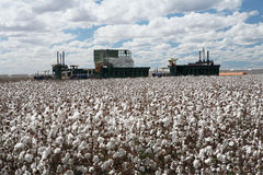 Cotton fields Stock Photos
