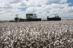 Cotton fields Stock Photos