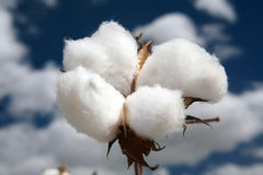 Cotton fields Stock Image