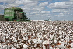 Cotton fields Stock Photography