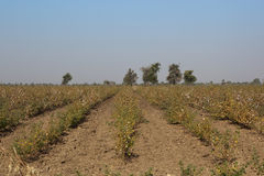 Cotton fields Royalty Free Stock Photography