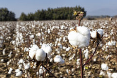 Cotton fields Royalty Free Stock Photos