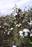 Cotton Fields of Arkansas. Harvest time for fields of cotton. Cottony soft. This cotton has to dry is a wet day has recently stooped at 5:00 am it is now 11:00am stock photo