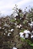 Cotton Fields of Arkansas stock photo