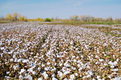 Cotton fields. Eastphoto, tukuchina, Cotton fields, Industry, Agriculture, Natural Royalty Free Stock Image