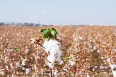 Cotton fields Royalty Free Stock Image