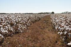 Cotton fields ready for harvest Stock Image