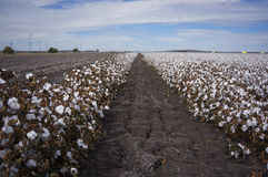 Cotton Fields Ready For Harvesting in Australia Royalty Free Stock Images