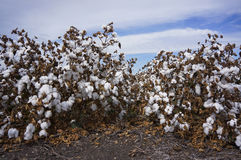 Cotton Fields Ready For Harvesting in Australia Stock Images
