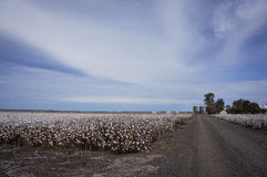 Cotton Fields Ready For Harvesting in Australia Royalty Free Stock Image
