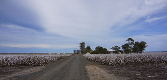 Cotton Fields Ready For Harvesting in Australia Stock Photos