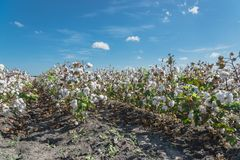 Row of cotton fields ready for harvesting in South Texas, USA. Cotton fields ready for harvesting under cloud blue sky in Corpus Christi, Texas, USA. Agriculture royalty free stock images
