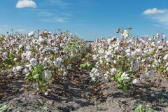Row of cotton fields ready for harvesting in South Texas, USA. Cotton fields ready for harvesting under cloud blue sky in Corpus Christi, Texas, USA. Agriculture stock photography