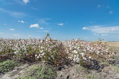Row of cotton fields ready for harvesting in South Texas, USA. Cotton fields ready for harvesting under cloud blue sky in Corpus Christi, Texas, USA. Agriculture royalty free stock photo