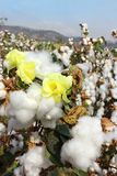 Cotton fields with ripe cotton ready for harvesting. Cotton flower and cotton balls in a cotton fields ready for harvesting royalty free stock photography