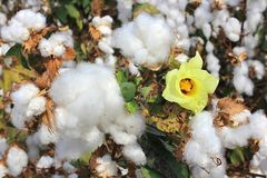 Cotton fields with ripe cotton ready for harvesting. Cotton flower and cotton balls in a cotton fields ready for harvesting royalty free stock photos