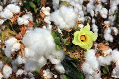 Cotton fields with ripe white cotton Royalty Free Stock Photo