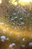 Cotton fields at sunset Stock Image