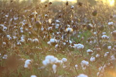 Cotton fields at sunset Stock Photo