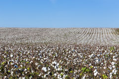 Cotton fields white with ripe cotton ready for harvesting Royalty Free Stock Photo